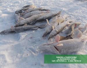 Зимняя рыбалка в Подмосковье на Малеевском пруду